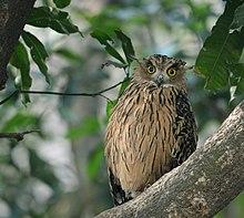 Tawny Fish Owl Wikipedia