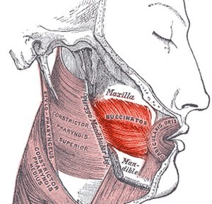 Buccinator muscle - Buccinator outlined in red.