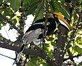 Buceros bicornis (female) -in tree-8.jpg