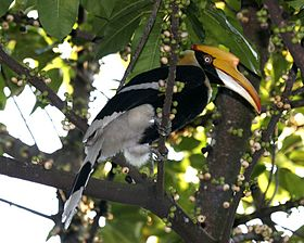Buceros bicornis (female) -in tree-8.jpg
