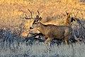 Buck (13625742214).jpg
