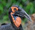Bucorvus leadbeateri -Philadelphia Zoo -upper body-8a.jpg