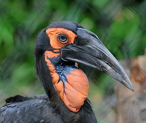 Southern ground hornbill - Upper body