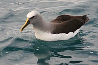 Buller's Albatross on water