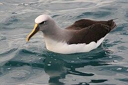 Buller's Albatross on water