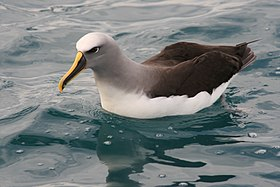 Buller's Albatross on water.jpg
