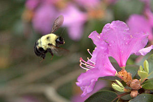 Bumble bee hovering near azalea.