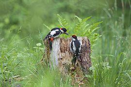 Buntspecht füttert Jungvogel.jpg