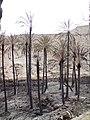 Burned palms نخلهای سوخته - panoramio.jpg