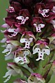 Burnt-tip Orchid - Neotinea ustulata - panoramio (20).jpg