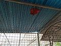 Burung nuri biru merah.jpg