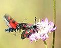 Butterfly in love - Zygaena trifolii (520595913).jpg