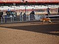 CFD Team Roping - Steer captured tighly standing up.jpg