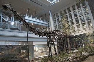 <i>Diplodocus</i> Genus of diplodocid sauropod dinosaurs (fossil)