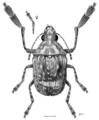 COLE Anthribidae Araecerus palmaris m.png