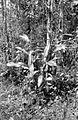 COLLECTIE TROPENMUSEUM Nepenthes bicalcarata uit West Borneo landschap Pontianak TMnr 10006344.jpg