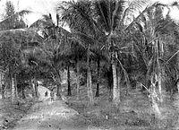 COLLECTIE TROPENMUSEUM Weg door een kokospalmbos bij Bebalain Roti eilanden TMnr 10012601.jpg