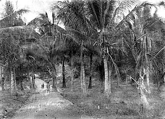 Rote Ndao Regency - Coconut Palms on Roti