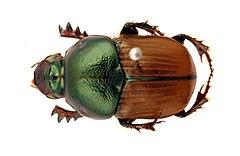 240px csiro scienceimage 717 bronze dung beetle onitis alexis
