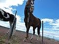 Caballos Patagonicos.jpg