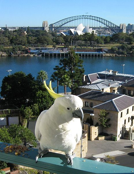 Cockatoo on Balcony in Australia