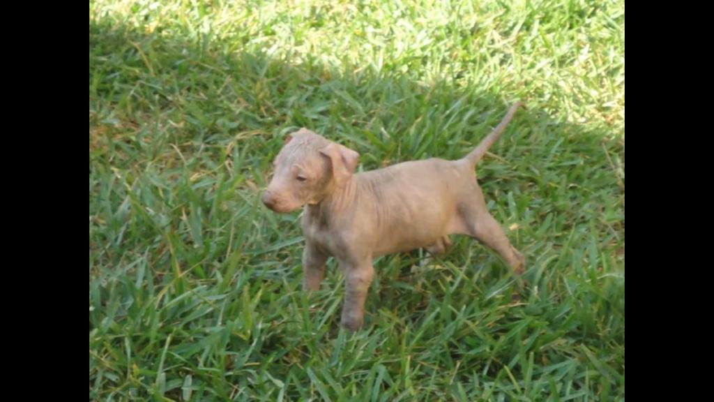 Cachorro de Xoloitzcuintle
