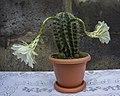 Cactus flower 2020-08-03 v2.jpg