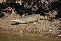 Caiman crocodilus llanos.JPG
