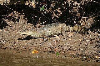 Spectacled caiman species of reptile