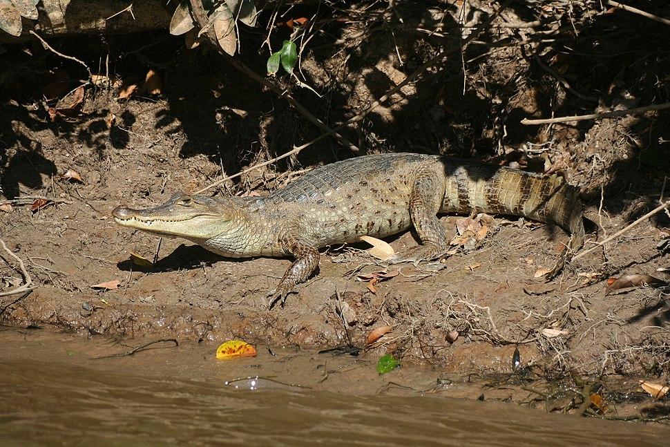 Caiman crocodilus llanos