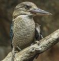Cairns Blue Winged Kookaburra-5 (15848001707).jpg