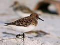 Calidris alba (breeding plumage).jpg