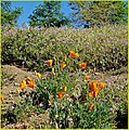 California Poppies, Oak Glen 4-12-14c (13928959512).jpg