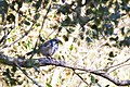 California Scrub Jay, Olema, California (23323336322).jpg