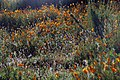 California poppies near Lake Elsinore, CA (33213595300).jpg