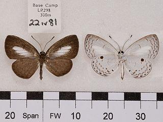 <i>Callenya lenya</i> species of insect