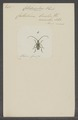 Callideriphus - Print - Iconographia Zoologica - Special Collections University of Amsterdam - UBAINV0274 033 22 0005.tif