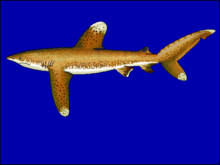 Drawing of shark with prominent, all white-tipped fins