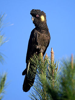 A large black cockatoo perched atop some foliage against a sky background