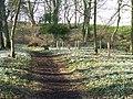 Cambo Snowdrops - the woodland walk - geograph.org.uk - 687151.jpg