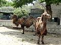 Camels 22.jpg