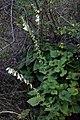 Campanula alliariifolia 4.jpg