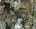 Campanula cochleariifolia PID1976-4.jpg