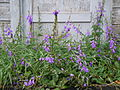 Campanula rapunculoides (4996749701).jpg