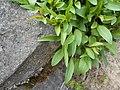 Campanula rotundifolia 2017-04-20 8423.jpg