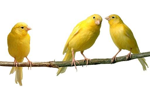 Canarios mios