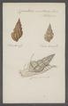 Cancellaria senticosa - - Print - Iconographia Zoologica - Special Collections University of Amsterdam - UBAINV0274 084 05 0009.tif