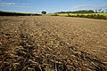 Cane field after harvestor.jpg
