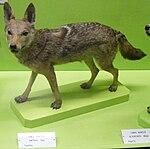Canis anthus anthus.jpg