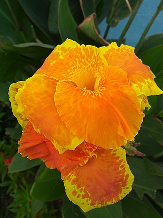 Canna (plant) - Orange canna lily